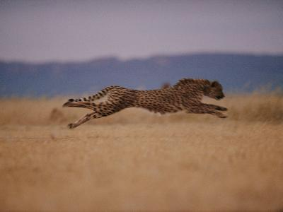 A Cheetah with Limbs Parallel to the Ground While in Full Sprint