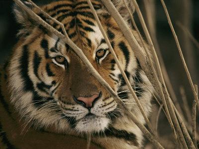 A Captive Tiger Shows a Formidable Expression