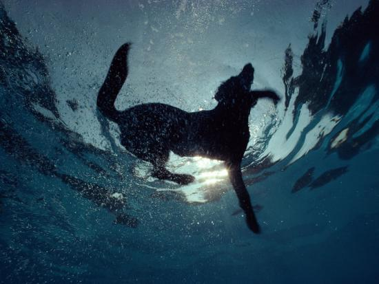An Underwater View Of A Black Labrador Retriever Swimming