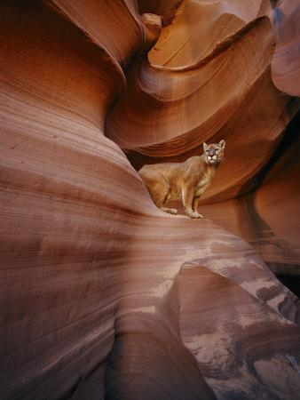 A Mountain Lion Pauses on a Ledge Inside a Swirled Rock Chasm