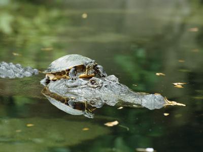 A Yellow-Bellied Turtle Hitches a Ride on the Head of an Alligator