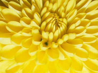 Close-up of a Yellow Chrysanthemum