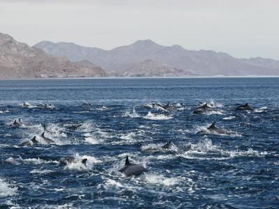Porpoises Leap from the Waters of the Gulf of California