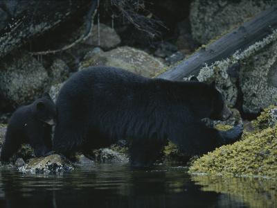 Close View of a Bear Standing in Shallow Waters by Moss-Covered Rocks