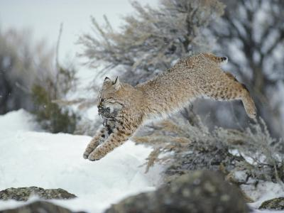 A Bobcat Leaps with a Horned Lark in its Mouth