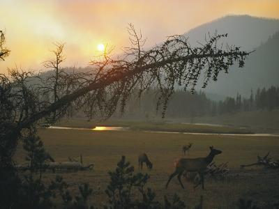 Elk Graze in a Meadow under a Sky Dimmed by Smoke from a Forest Fire
