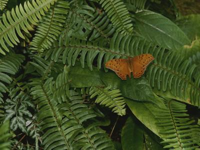 An Orange Leopard Butterfly Rests on Green Leafy Ferns
