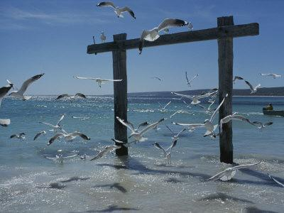 Sea Gulls Hover over Surf Around a Piling