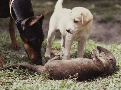 A Young South American River Otter is Investigated by Two Dogs
