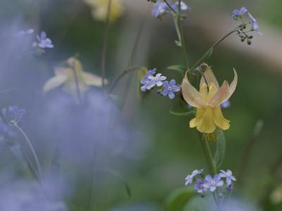 Forget-Me-Not and Yellow Columbine Wildflowers