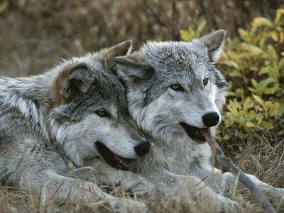 Two Gray Wolves, Canis Lupus, Rest after Playing with a Stick