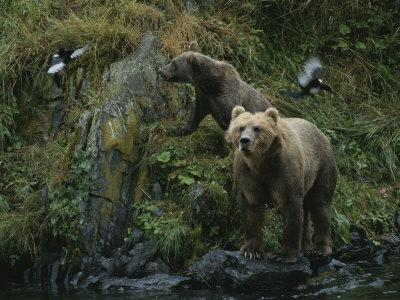 A Pair of Grizzly Bears Spook Some Birds at Waters Edge