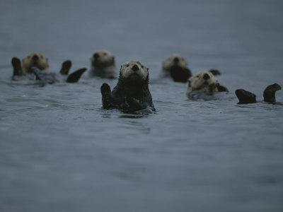 A Group of Sea Otters, Enhydra Lutris, Rest on the Surface of the Sea