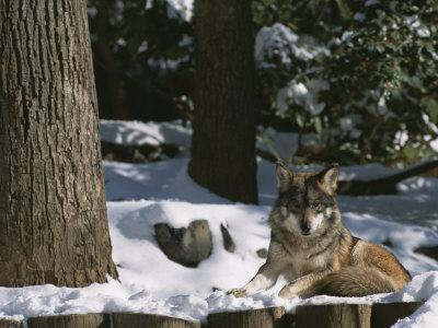 A Gray Wolf on a Sunny Winter Day