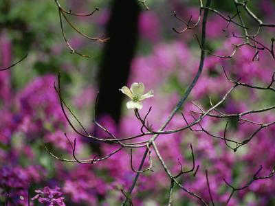 A Single Dogwood Blossom is Seen against a Colorful Background