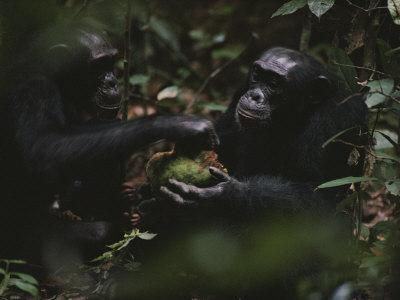 Two Chimpanzees Share Fruit