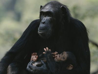 The Chimpanzee Rafiki with Her Twins, Roots and Shoots