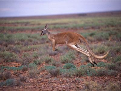 A Red Kangaroo Bounds Across the New South Wales Countryside