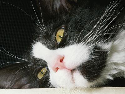 Close View of Black-And-White Short-Haired Cat