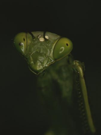 Close View of a Praying Mantis