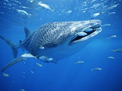 Small Fish Swim Along with a Whale Shark, Rhincodon Typus