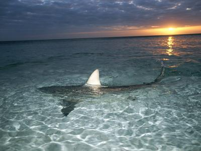 Blacktip Shark Fins, Carcharhinus Limbatus, Slice the Waters Surface