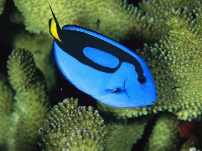 A Bright Blue Palette Surgeonfish, Paracanthurus Hepatus