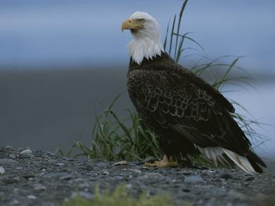 A Close View of an American Bald Eagle in Profile