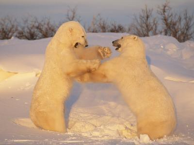 A Pair of Polar Bears, Ursus Maritimus, Frolic in a Snowy Landscape
