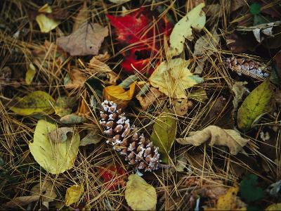 Pine Needles and Cones, and Autumn Leaves Along the Appalachian Trail