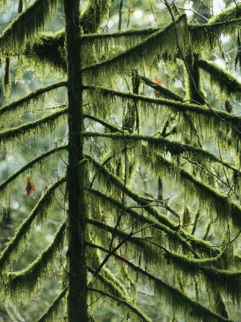 Woodland View of Evergreens and Tree Trunks Covered in Moss
