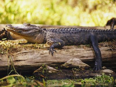 American Alligator on a Log