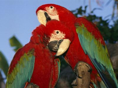 Pair of Captive Red-And-Green Macaws at Busch Gardens