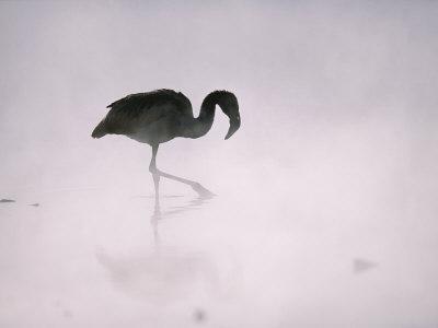 Flamingo Wades in a Thermal Hot Spring in Chiles Atacama Desert