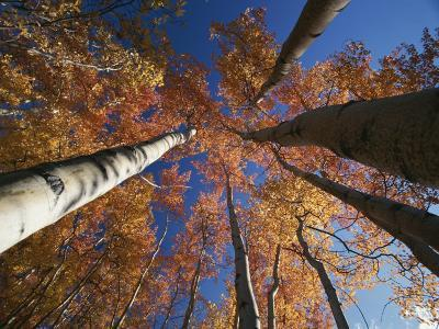 Fall Aspen Trees Reach for the Sky in Wrangell Saint Elias Park