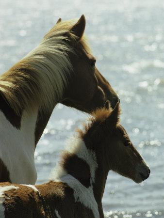 Wild Pony and Foal Looking Out at the Water