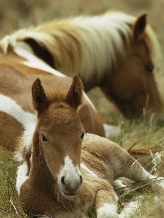 Wild Pony and Foal at Rest in a Grassy Plain
