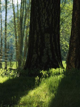 Pine Tree Trunks in Woodland Meadow