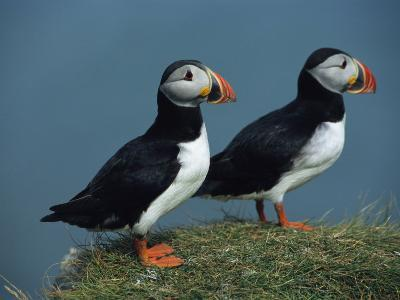Pair of Atlantic Puffins Perch on a Grass-Covered Cliff