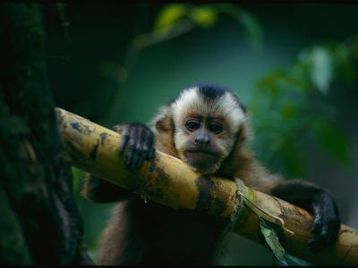 A Capuchin Monkey, Orphaned after Poachers Killed its Mother, Sits in a Tree