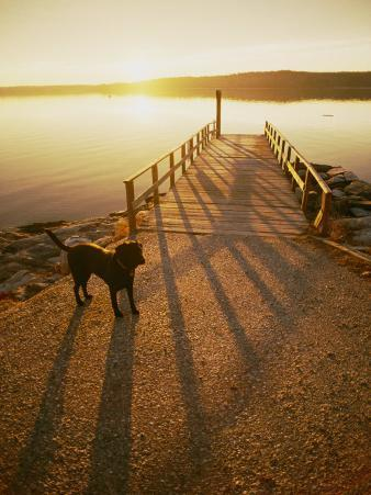 A Black Labrador Pauses by the Waterfront