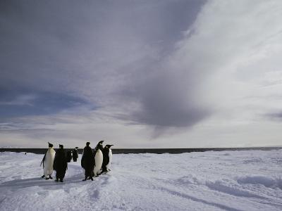 A Group of Emperor Penguins in Antarctica