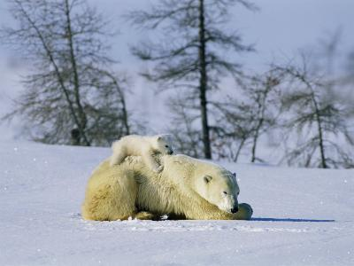 A Young Polar Bear Rests on the Back of its Mother