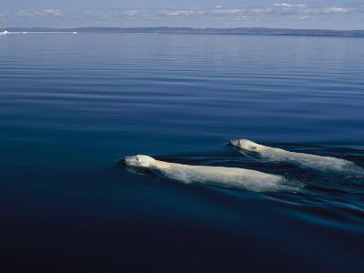 A Pair of Polar Bears Swimming in the Waters of Wager Bay