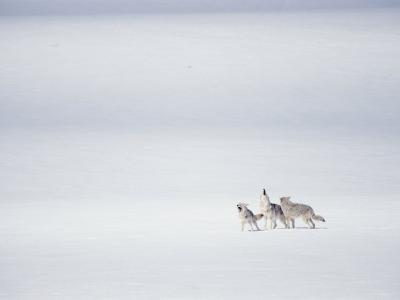 A Pack of Coyotes Howl During a Fight with a Different Pack