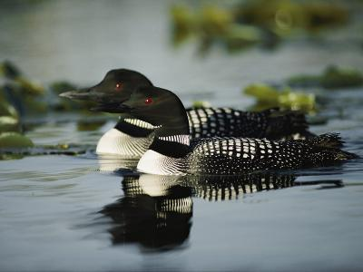 Close View of a Mated Pair of Common Loons Swimming in Tandem