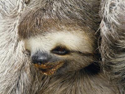 Close Portrait of a Three Toed Sloth