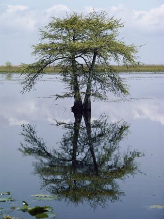 Cypress Tree Reflecting in the Water