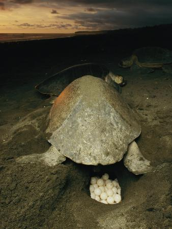 Olive Ridley Sea Turtle and Eggs, Which the Animal Lays after Digging a Hole in the Sand