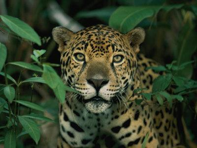 A Jaguar Looks into the Camera